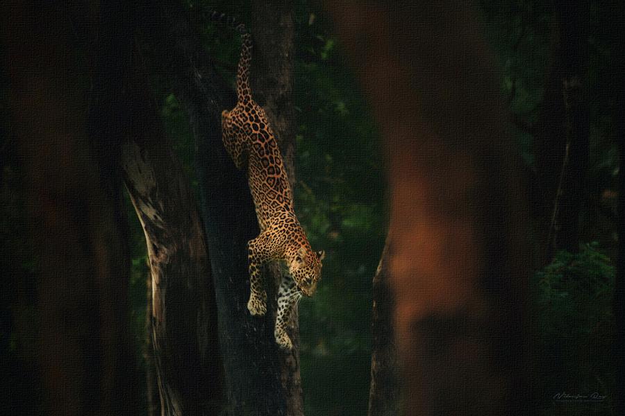 Agility - leopard climbing down a tree