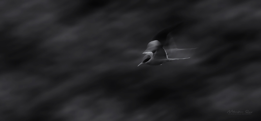 Ghost tern, panned shot