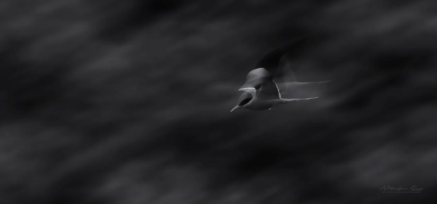 Ghost tern, panned shot