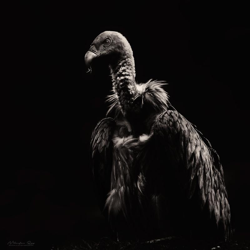 Griffon vulture, Uttarakhand