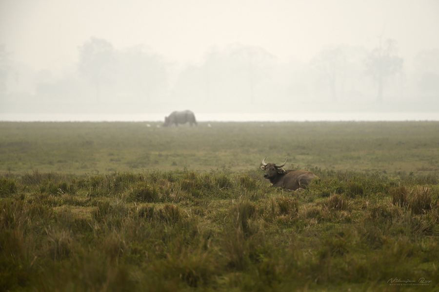 Wild water buffalo and rhino, Kaziranga