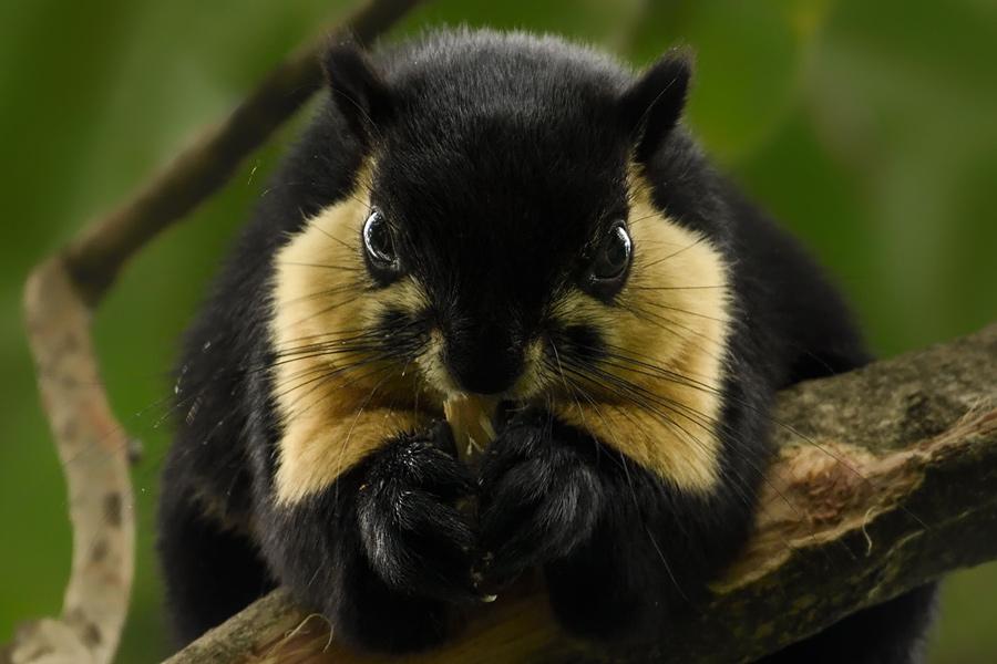 Malayan giant squirrel, Namdhapa National Park
