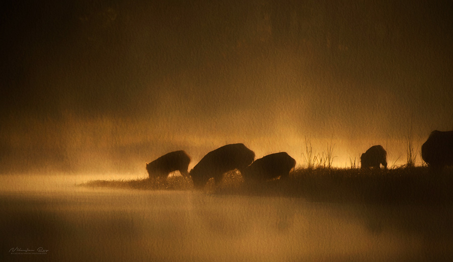 Wild boars on a misty winter morning
