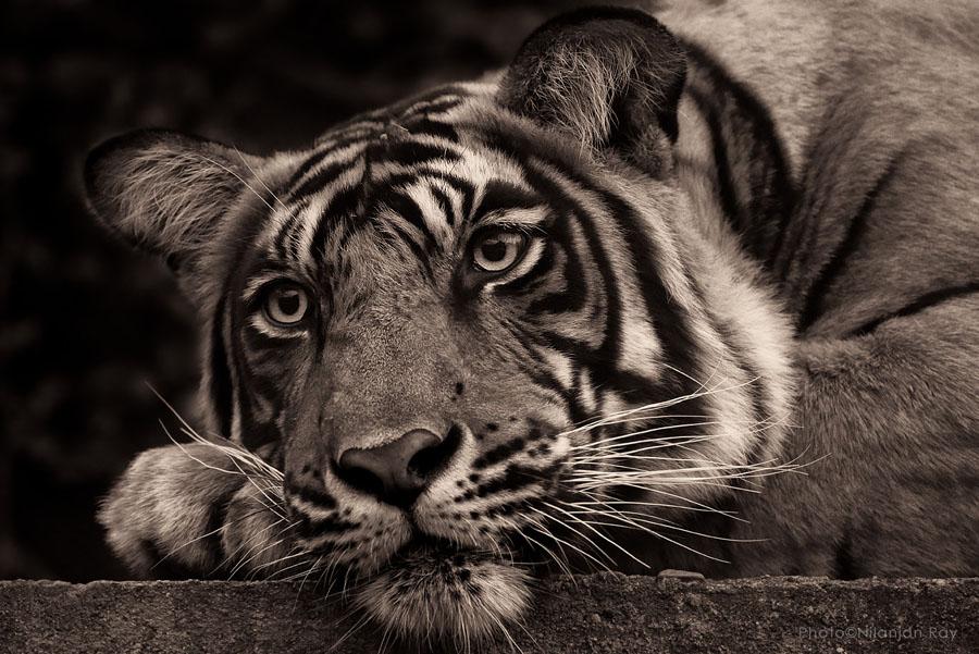 Pensive tiger, Ranthambore