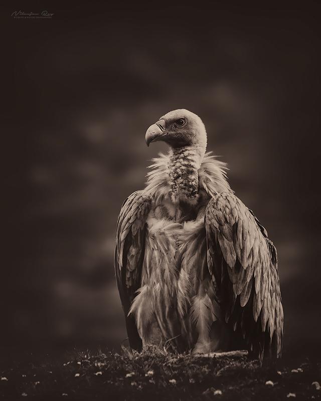 Griffon-vulture Himalayas