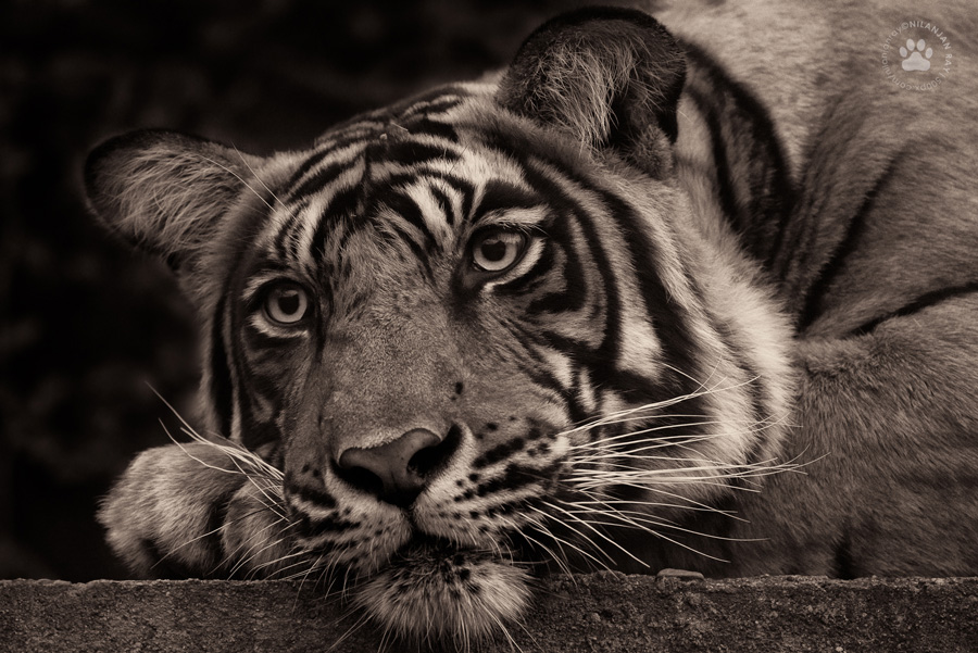 Thoughtful tiger, Ranthambore