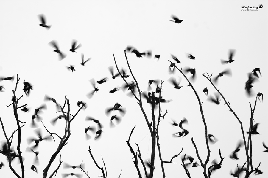 Time to fly | Starlings