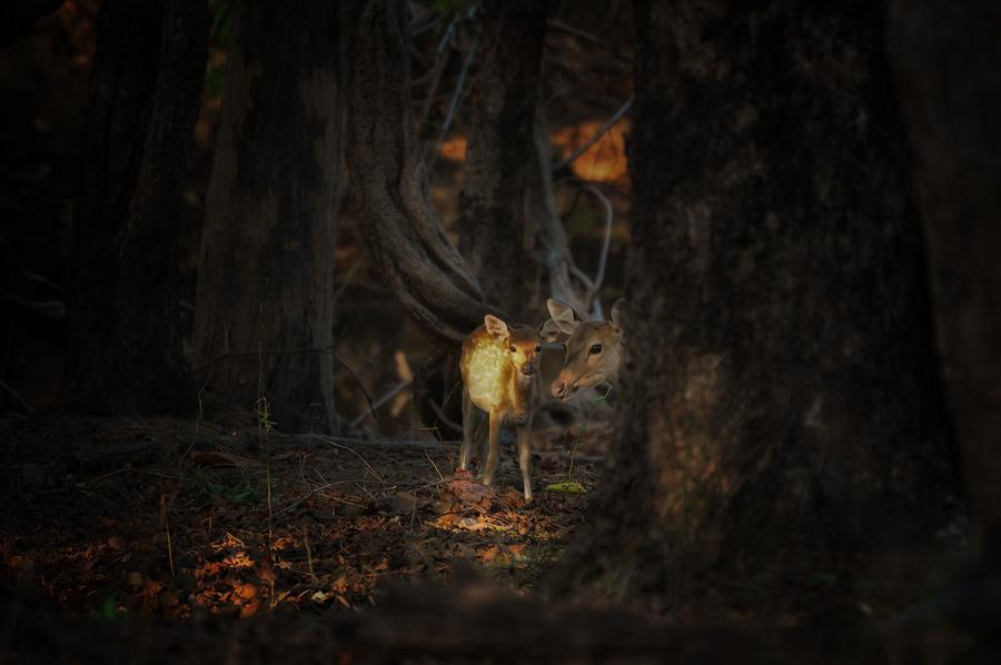 Deers in Bandhavgarh