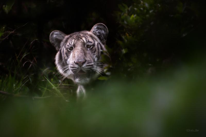 Pale Tiger Portrait Nilanjan Ray