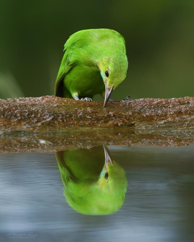 Reflection | Leaf bird