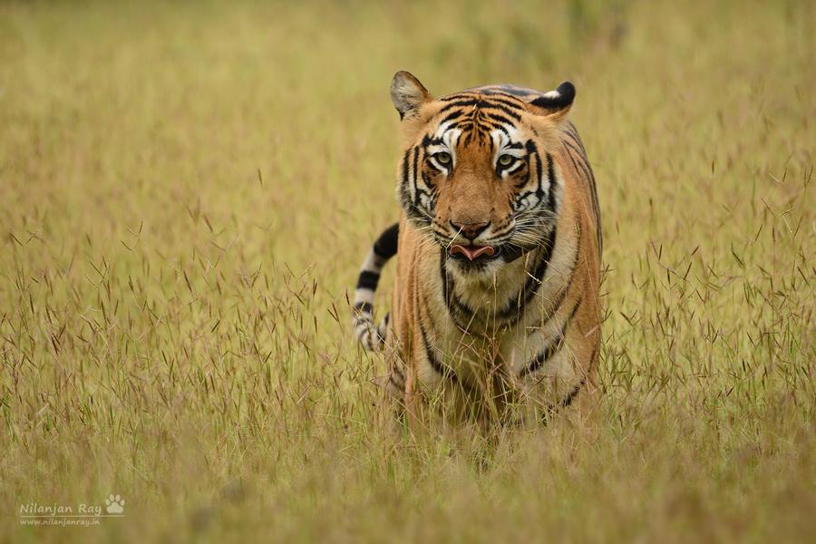 Rude-tigress