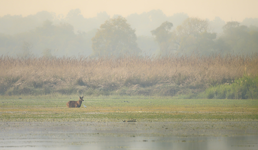 Swamp deer, Dudhwa