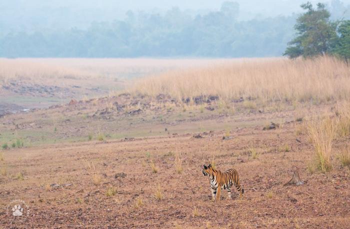 Tigerscape