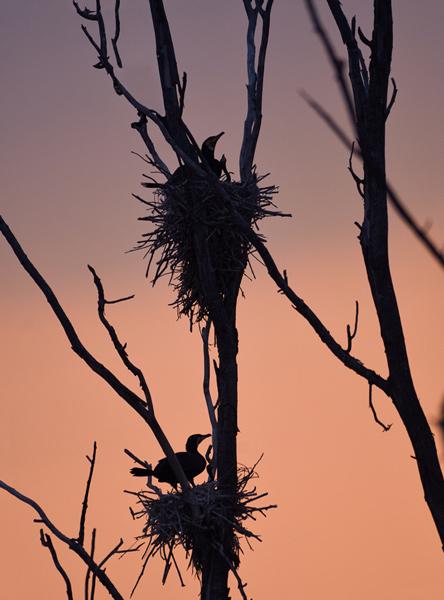 Cormorants nests