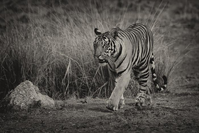 Tigress, Kanha meadows