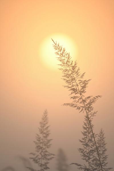 Sunrise behind Kans grass