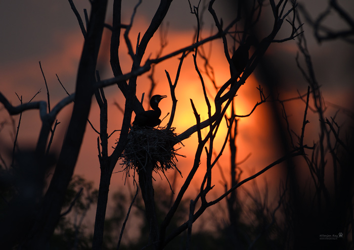 Cormorant during sunset