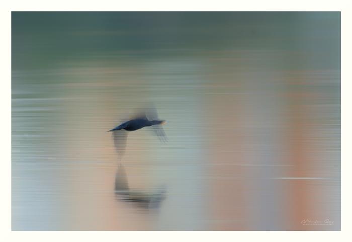 Cormorant after sunset
