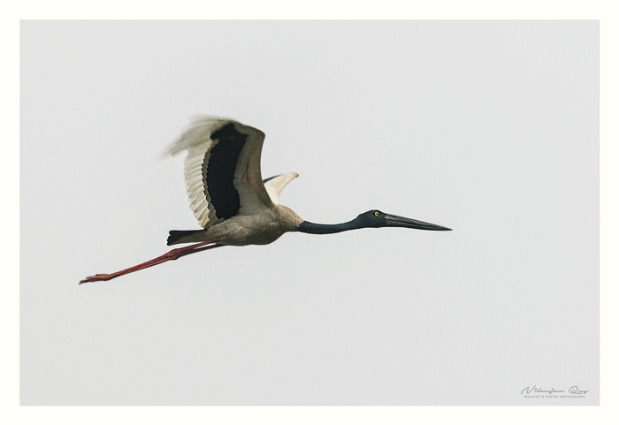 The very rare black necked crane