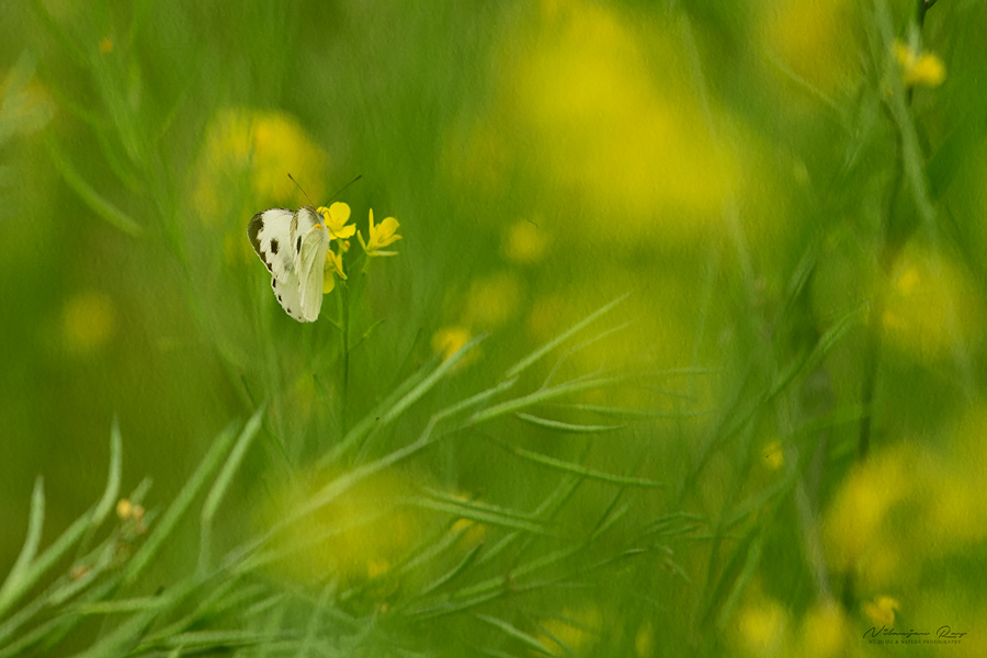 Butterfly among mustard plants