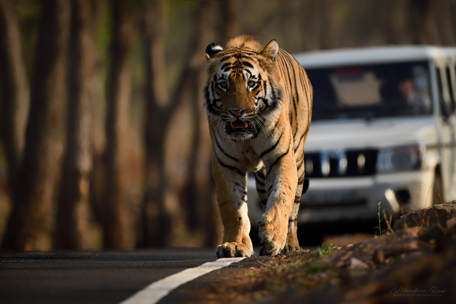 Catwalk - big male tiger walking on a forest road in Tadoba