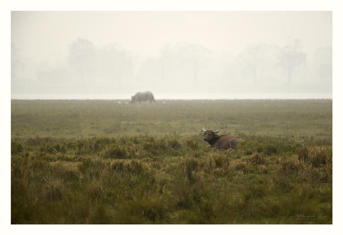 Quintessential Kaziranga. Wild water buffalo and rhino. Assam.