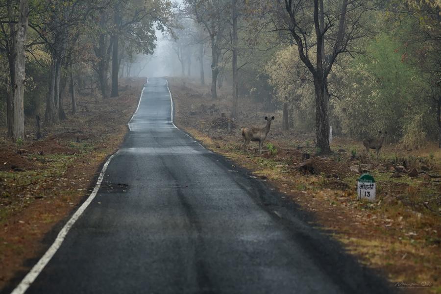13 km to Moharli, tadoba