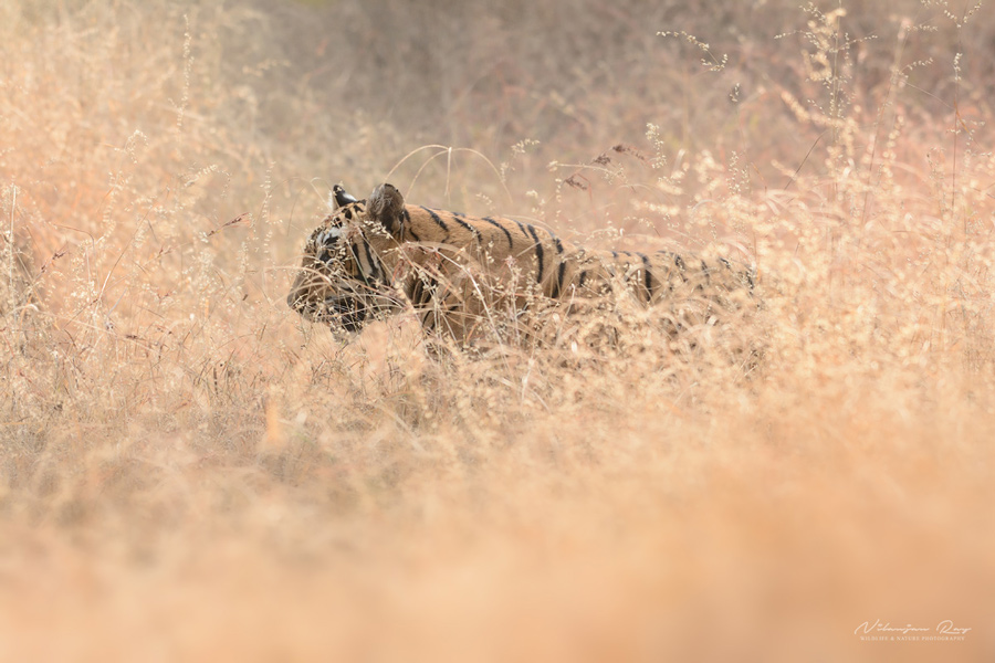 Tigress in golden grass