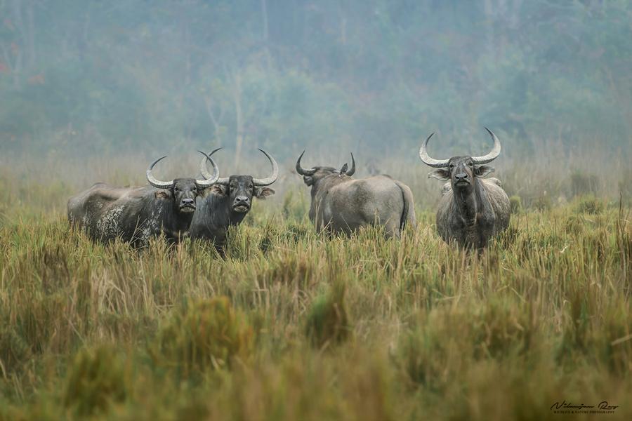Wild water buffaloes, Kaziranga
