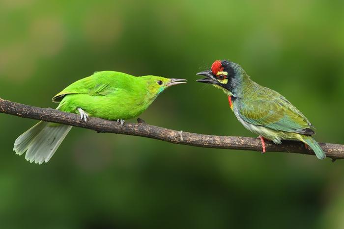 Juvenile leafbird and barbett