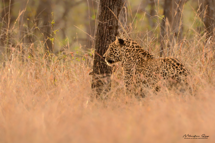 Leopard, early morning