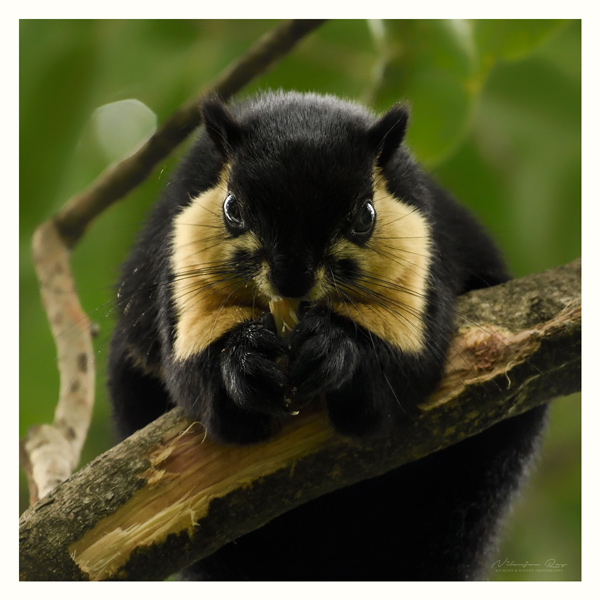 Malayan giant squirrel