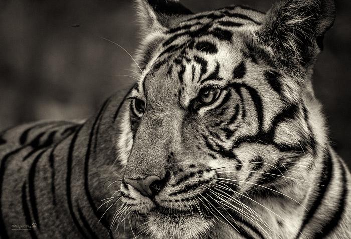 Kanha tigress