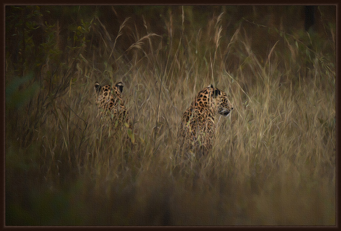 Leopard brothers - winter shot